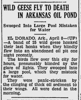 wild geese die in oil pit